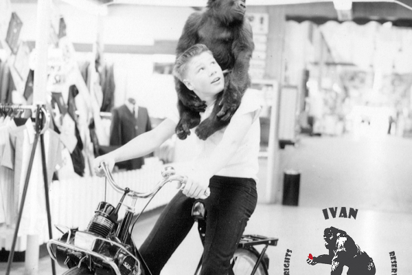 Ivan the Gorilla on the shoulders of Larry Johnston riding a Solex Bike, circa 1964